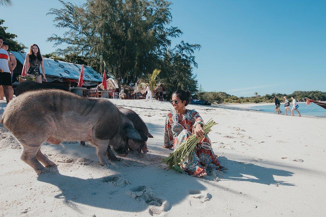 Wildschweine Füttern auf Koh Madsum